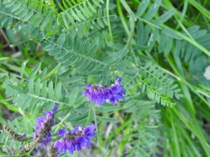 Vicia cassubica - Fabaceae