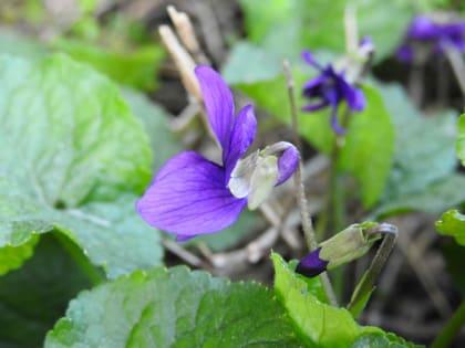 Viola odorata - Violaceae