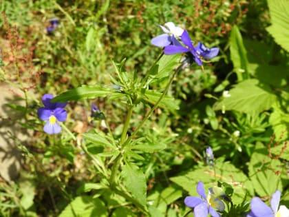 Viola tricolor - Violaceae
