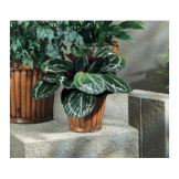 Calathea Sympathy Plant