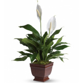Lovely One Spathiphyllum Plant