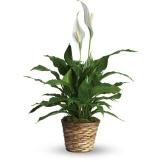 Simply Elegant Spathiphyllum (Small)