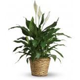Simply Elegant Spathiphyllum (Medium)