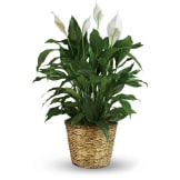 Simply Elegant Spathiphyllum