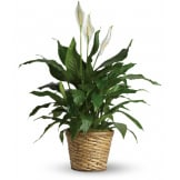 Simply Elegant Spathiphyllum (Deluxe)