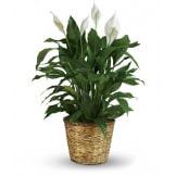 Simply Elegant Spathiphyllum (Large)