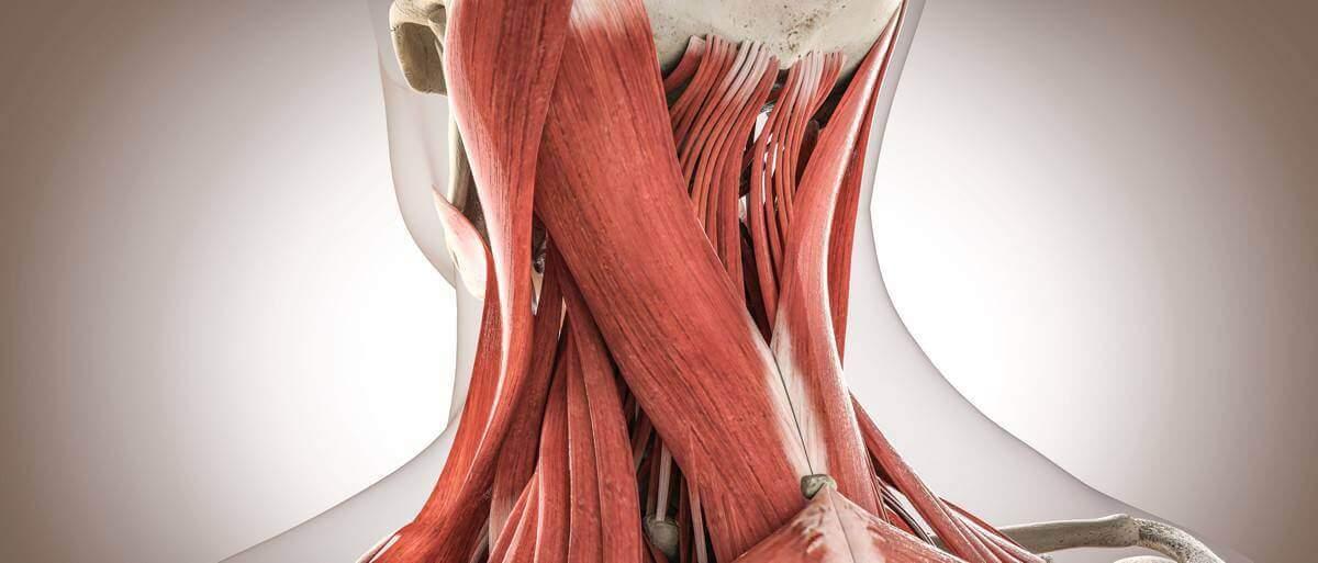 Muscoli del Collo