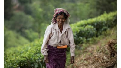 Bild zu Die Realität auf den Teefeldern Sri Lankas