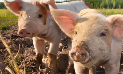 Bild zu Label für mehr Tierwohl