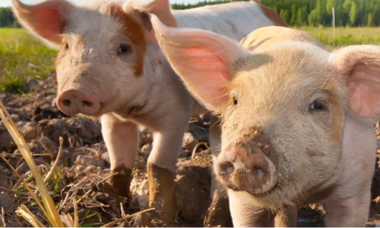 Label für mehr Tierwohl | Tierwohl Fleisch Massentierhaltung Tierschutz Artgerechte Haltung