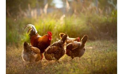 Bild zu Von Eiern, Gesundheit und Tierwohl