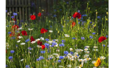 Bild zu Pflanzen und Blumen für Insekten