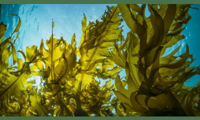 Bild zu Wie gesund sind Algen?