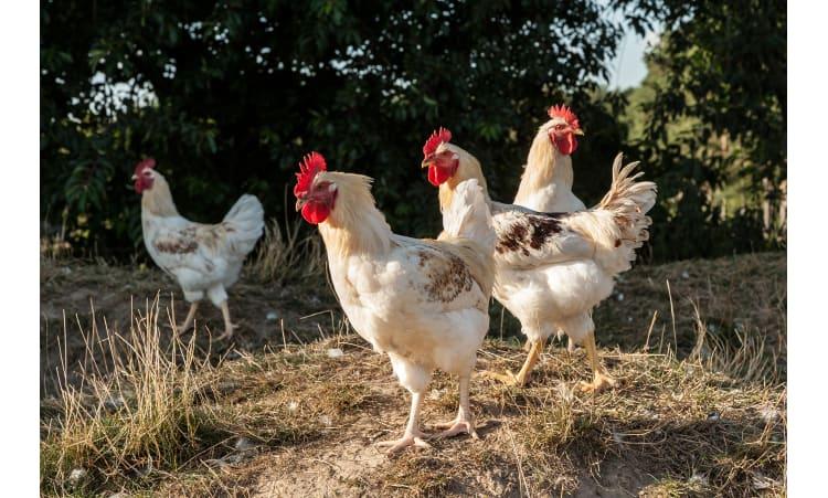 Von Eiern, Brüderhähnen und dem happy Huhn | Eier Massentierhaltung Ethik Tierwohl Ökologische Tierhaltung