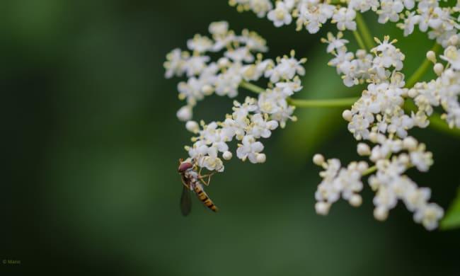 Eine Schwebfliege nascht den Nektar des Holunders