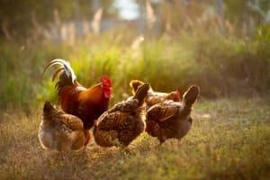 Von Eiern, Gesundheit und Tierwohl