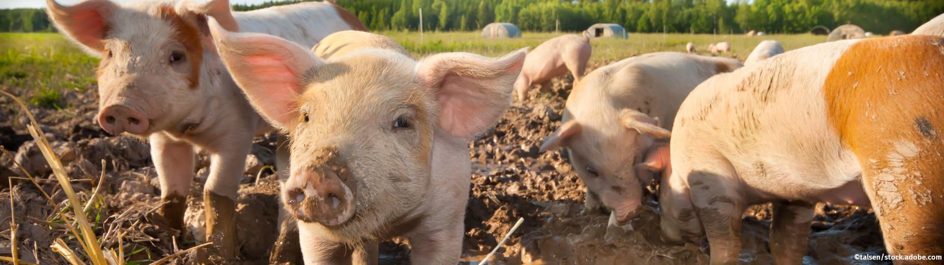 Schweine aus ökologischer Landwirtschaft wühlen im Matsch