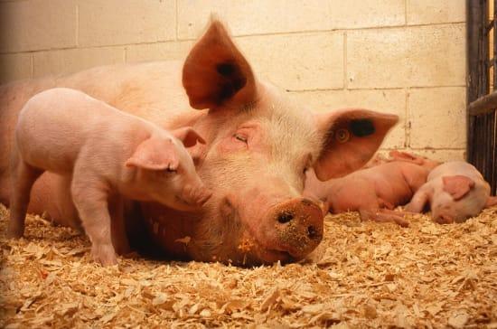 Erneuter Ausbruch der Afrikanischen Schweinepest in Polen