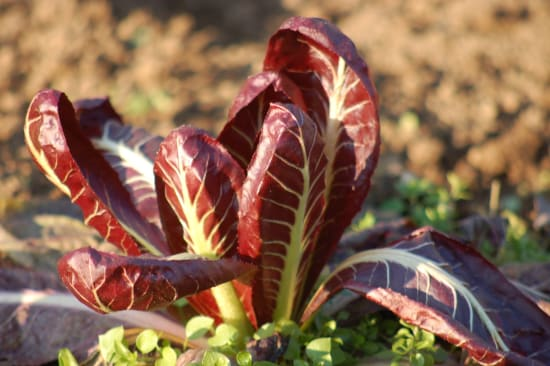 Leitfaden zur Minimierung von Pyrrolizidinalkaloidenin Lebensmitteln