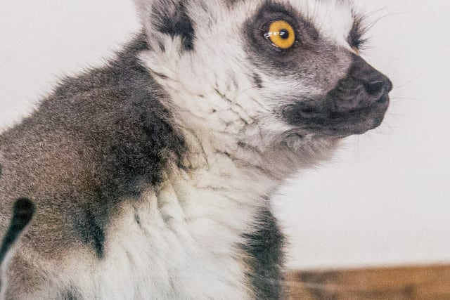 Ring-tailed lemur places hand against glass.
