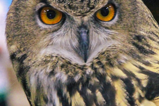 Up-close photo of an Eagle Owl.