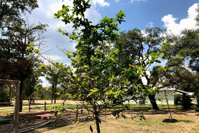 insidethecove%2Fsilverado-tree