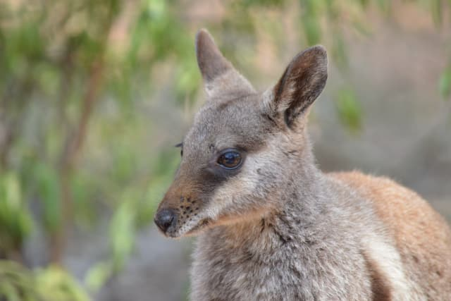 insidethecove%2Fwallaby_stock_photo