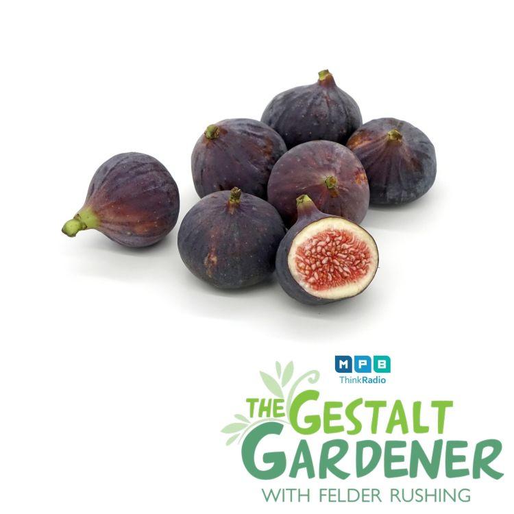 cover art for The Gestalt Gardener:  Fig Time