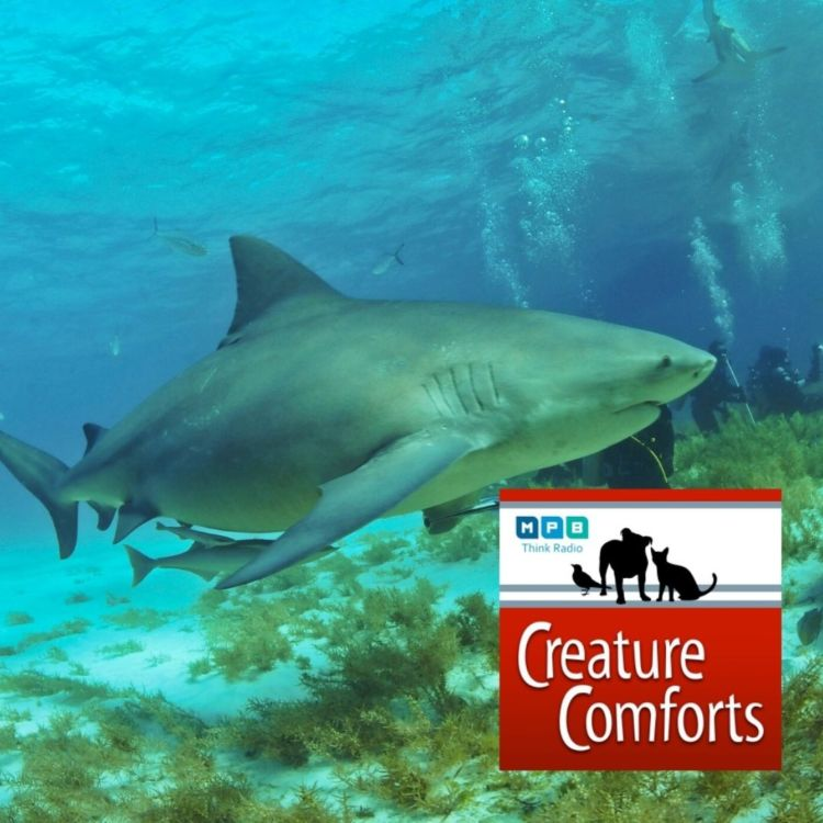cover art for Creature Comforts: Mississippi Sharks