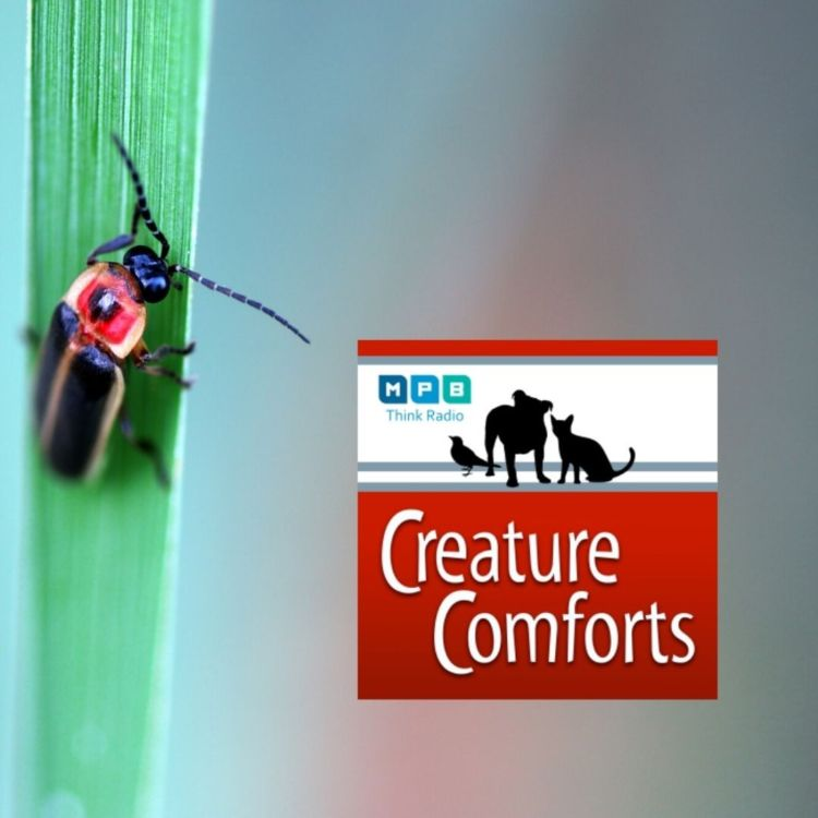 cover art for Creature Comforts: Fireflies and Lighting Bugs