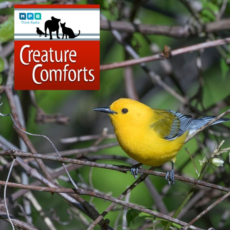 cover art for Creature Comforts: Prothonotary Warbler