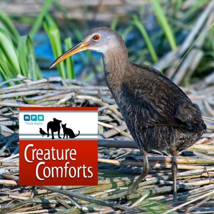 cover art for Creature Comforts | Secretive Marsh Birds