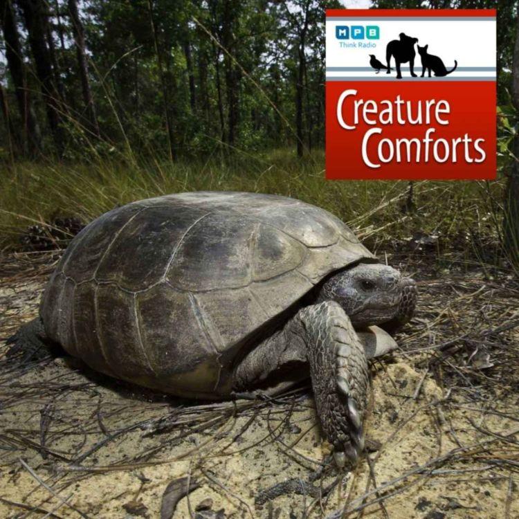 cover art for Creature Comforts | Raising Gopher Tortoises