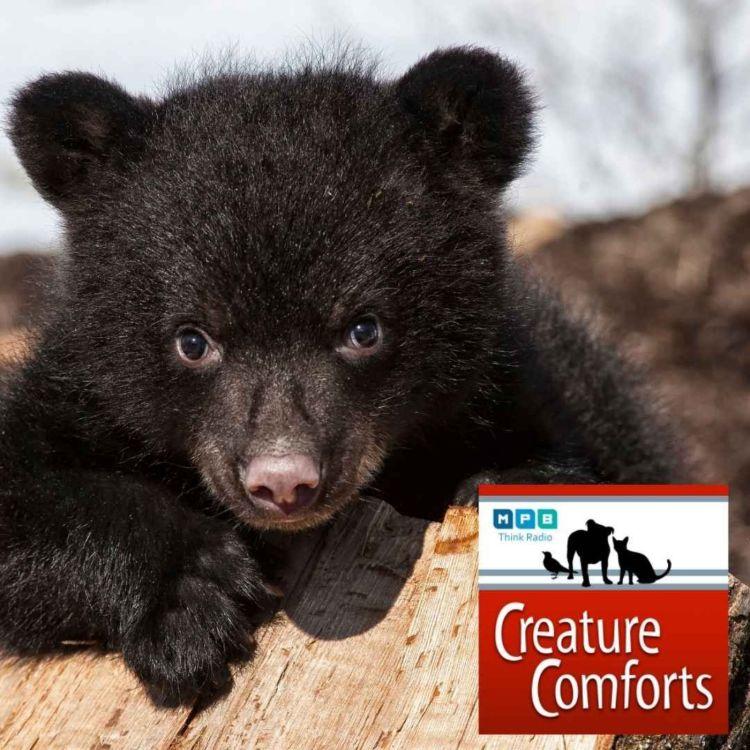 cover art for Creature Comforts   Black Bear Black Bear