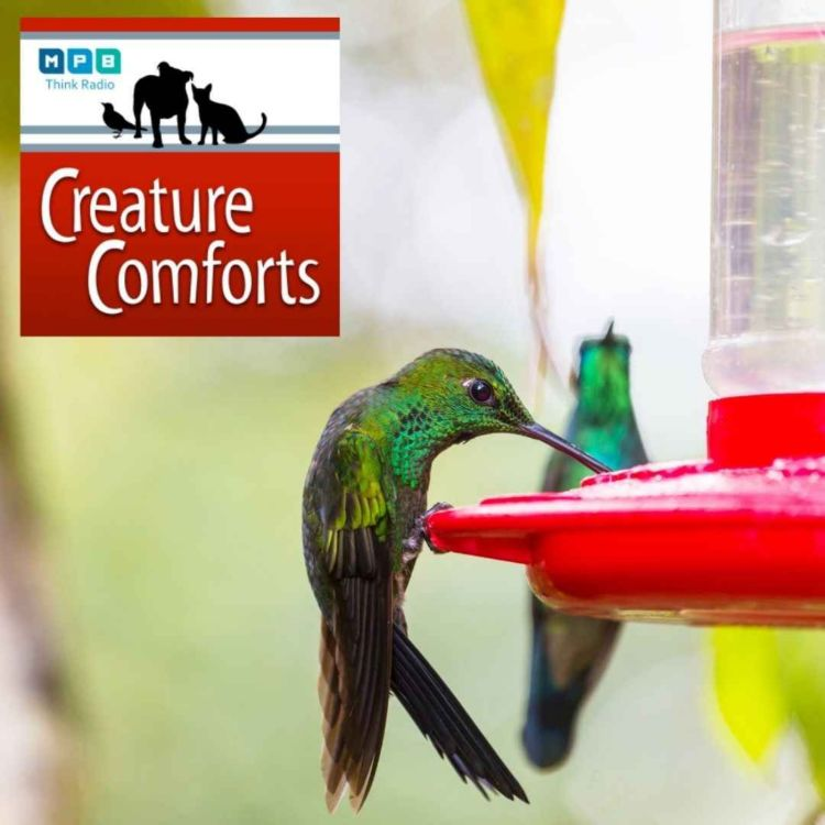 cover art for Creature Comforts | Winter Hummingbirds