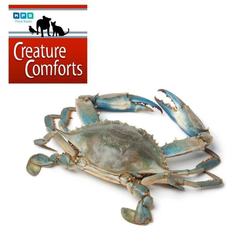 cover art for Creature Comforts | Blue Crab Traps