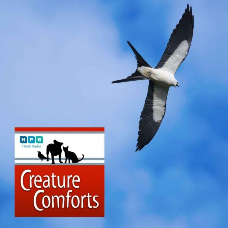 cover art for Creature Comforts | Swallow-tailed Kite