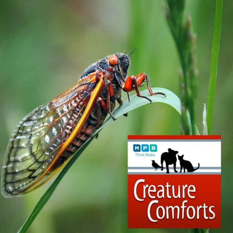 cover art for Creature Comforts | Cicada Season