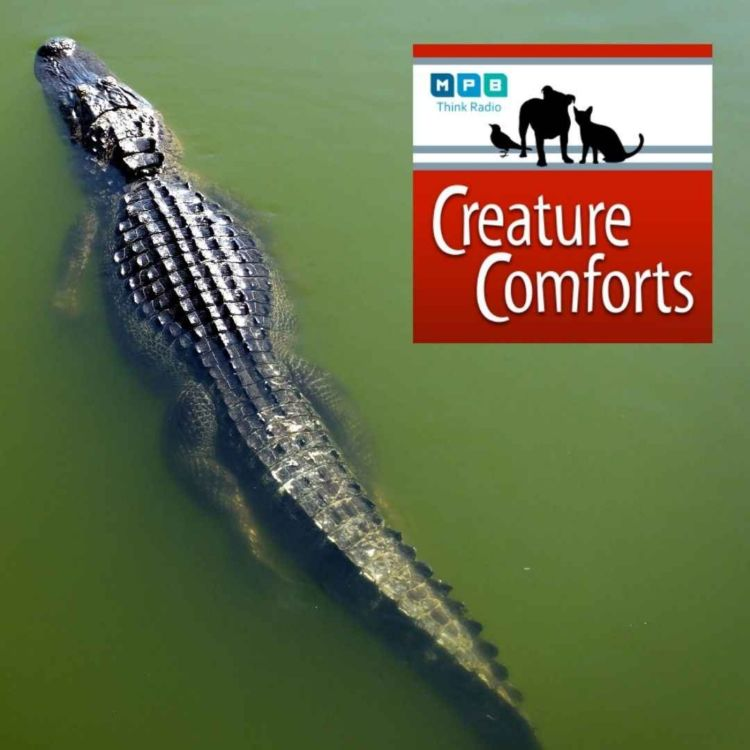 cover art for Creature Comforts | Alligator Alley