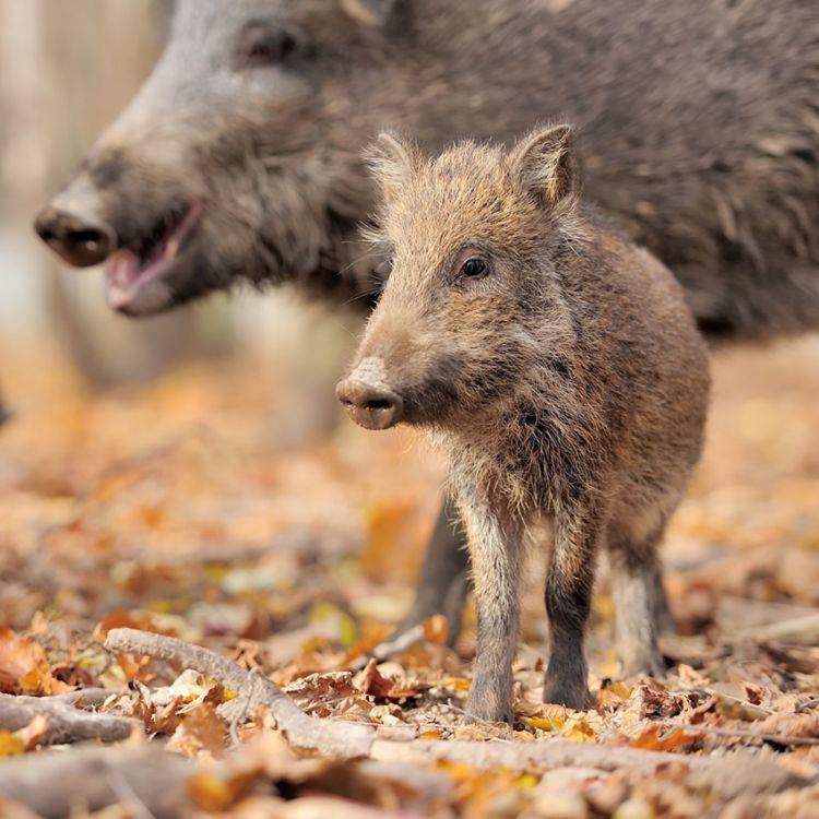 cover art for VETPodden - Hva vet vi om Afrikansk svinepest?