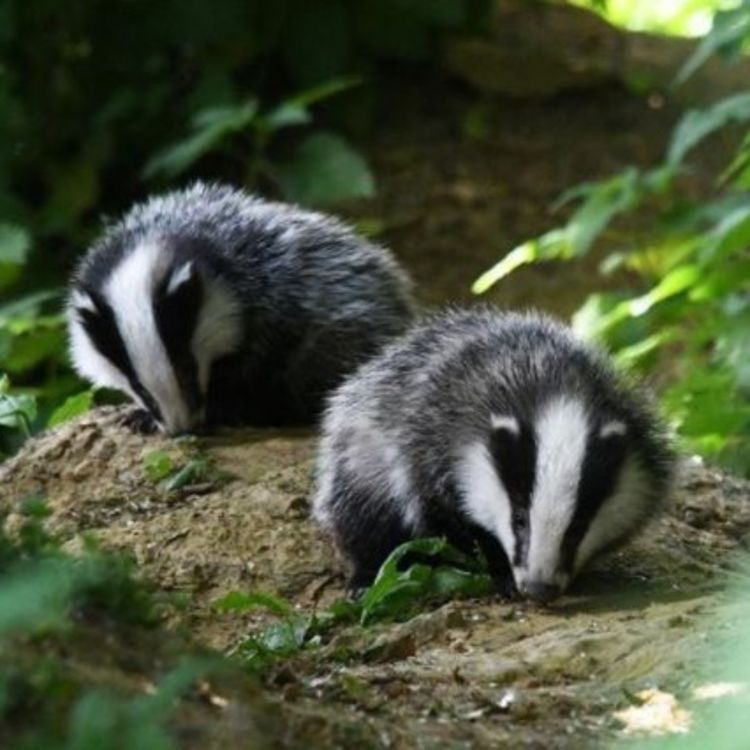 cover art for The badger cull debate!