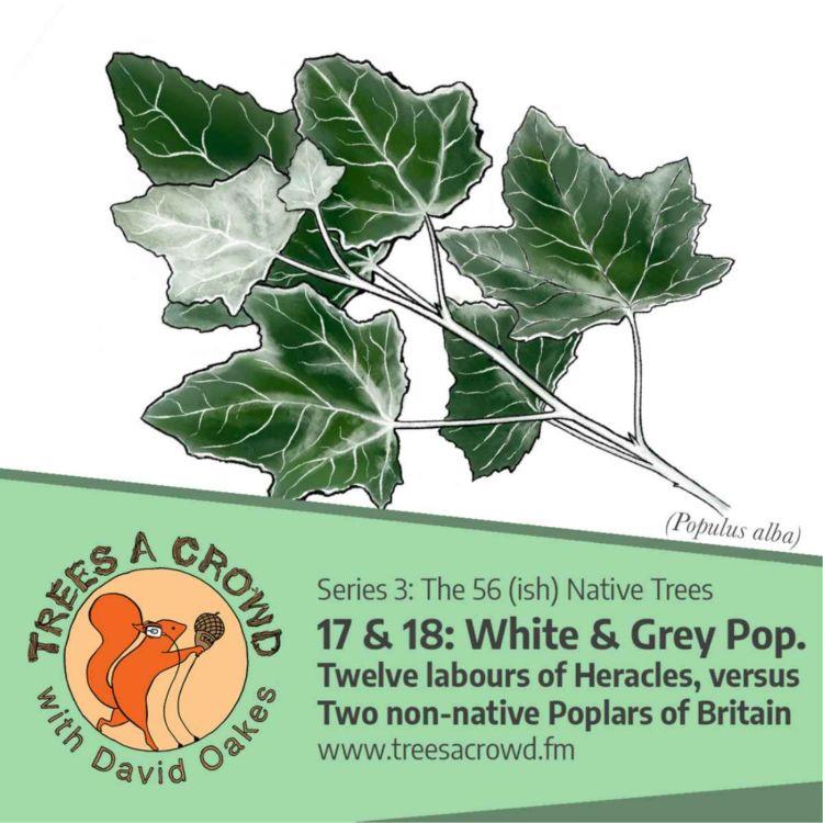 cover art for White & Grey Poplars: Twelve labours of Heracles, vs. Two non-native Poplars