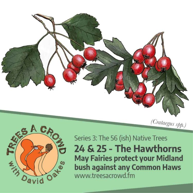 cover art for The Hawthorns: May Fairies protect your Midland bush against any Common Haws