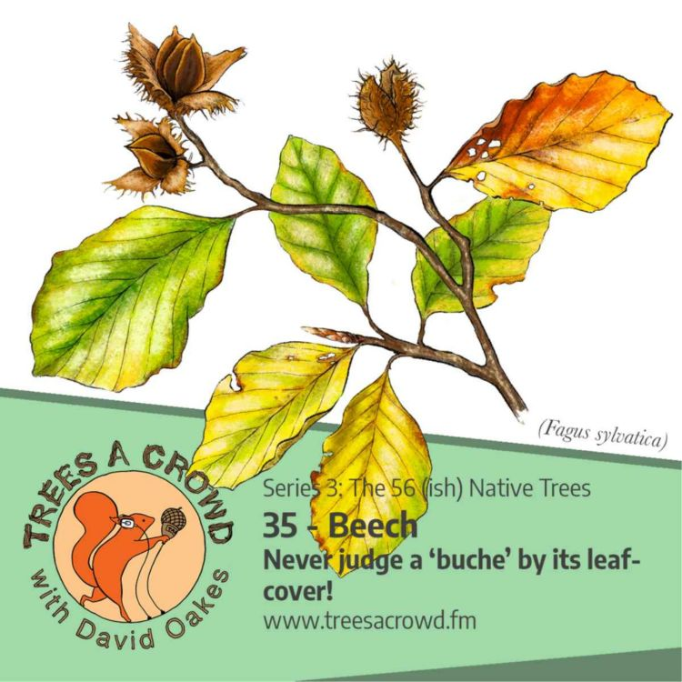 cover art for Beech: Never judge a 'buche' by its leaf-cover - (Buchen sollst du suchen-ish!)