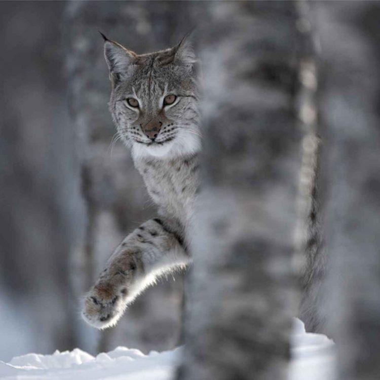 cover art for Lynx - friend or foe?