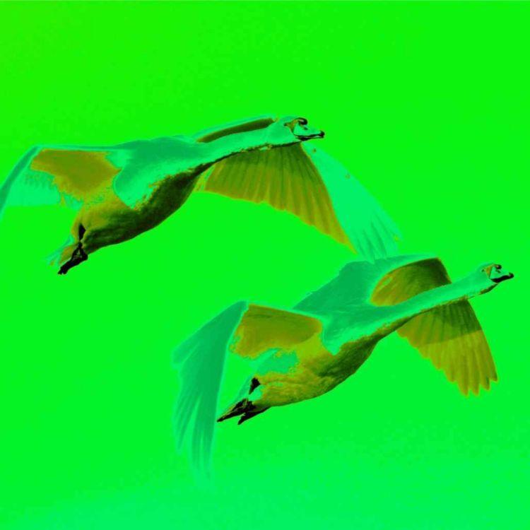 cover art for Green Swans take flight