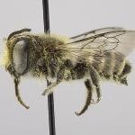 Pszczoły budują gniazda z…