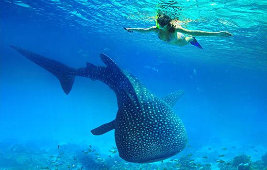 Nado con tiburones ballena