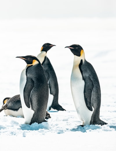 The emperor penguins of Bellingshausen