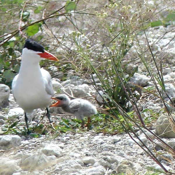 A Caspian tern with her chick settle on Port Tampa Bay's spoil island